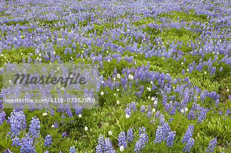 Field of blooming Lupin wildflowers