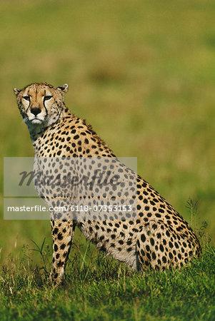 Cheetah, Acinonyx jubatus, Masai Mara Reserve, Kenya