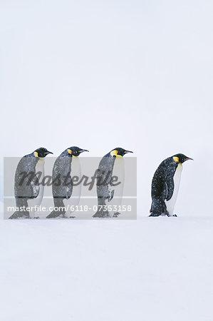 Emperor penguins walking, Aptenodytes forsteri, Weddell Sea, Antarctica