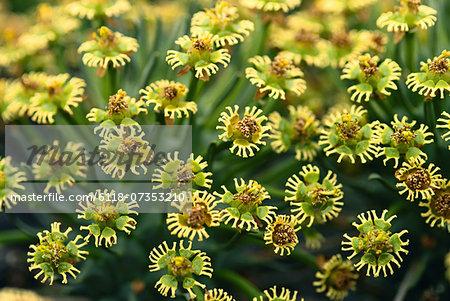Euphorbia flowers, Euphorbia sp., Goegap Nature Reserve, South Africa