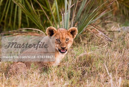 African lion cub, Botswana