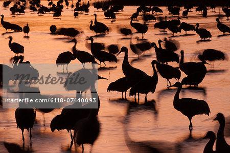 Sandhill cranes, Grus canadensis, Bosque del Apache National Wildlife Refuge, New Mexico, USA