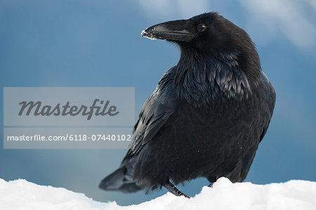 Raven in snow, Corvus corax, Olympic National Park, Washington, USA