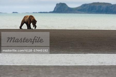 A brown bear in Katmai National Park, walking along the sea shore.