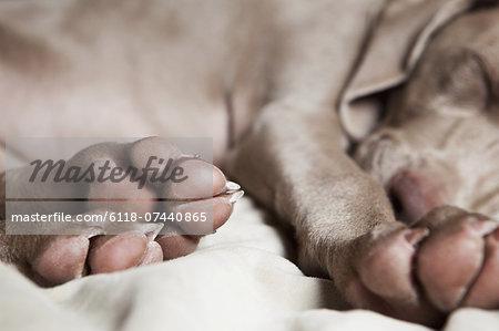 A Weimaraner puppy sleeping on a bed.