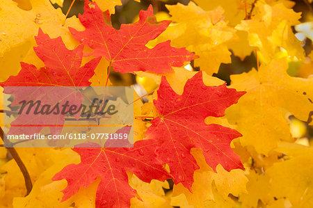 Vivid coloured maple leaves in autumn.