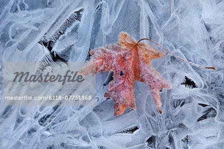 A maple leaf, autumn foliage colour on ice.