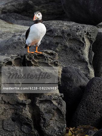 Atlantic Puffin on rocks of Akurey island