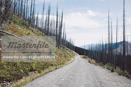 Road through fire damaged forest from extensive wildfire, near Harts Pass, Pasayten Wilderness, Washington.