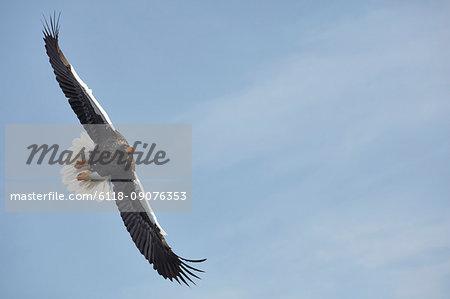 Steller's Sea Eagle, Haliaeetus pelagicus, landing on frozen bay in winter.