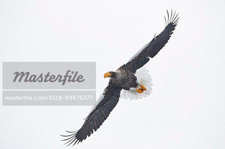 Steller's Sea Eagle, Haliaeetus pelagicus, mid-air, winter.