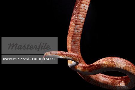 Portrait of Corn snake (Pantherophis guttatus) hanging against black background