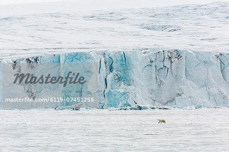 Adult polar bear (Ursus maritimus) near glacier face in Storfjord, Svalbard, Norway, Scandinavia, Europe