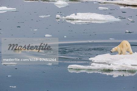 Mother polar bear (Ursus maritimus) swimming with second year cub on ice in Olgastretet off Barentsoya, Svalbard, Norway, Scandinavia, Europe