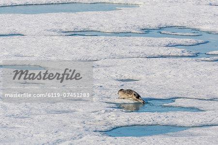 A ringed seal (Pusa hispida) near its breathing hole in Storfjorden, Svalbard, Norway, Scandinavia, Europe