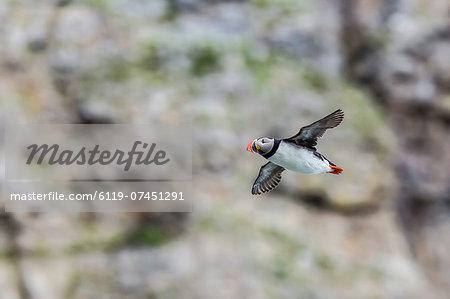 Atlantic puffin (Fratercula arctica), taking flight on Bjornoya, Svalbard, Norway,.Scandinavia, Europe