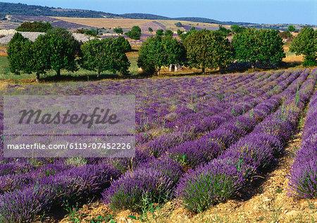 Lavender Field, Le Plateau de Sault, Provence, France