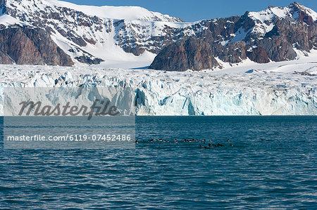 Brunnich's guillemot (Uria lomvia) in front of the glacier, Spitsbergen, Svalbard, Norway, Scandinavia, Europe