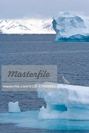 Young great skua (Stercorarius skua) on iceberg, Spitsbergen, Svalbard, Norway, Scandinavia, Europe