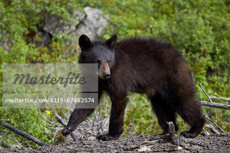 Black bear (Ursus americanus) yearling cub, Yellowstone National Park, Wyoming, United States of America, North America