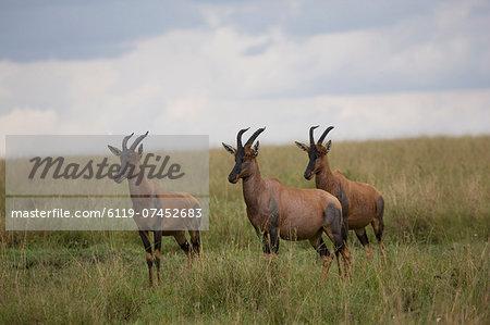 Topi  (Damaliscus korrigum), Masai Mara National Reserve, Kenya, East Africa, Africa