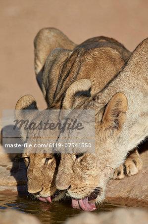 Two lions (Panthera leo) drinking, Kgalagadi Transfrontier Park, encompassing the former Kalahari Gemsbok National Park, South Africa, Africa