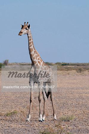 Southern giraffe (Giraffa camelopardalis), Central Kalahari National Park, Botswana, Africa