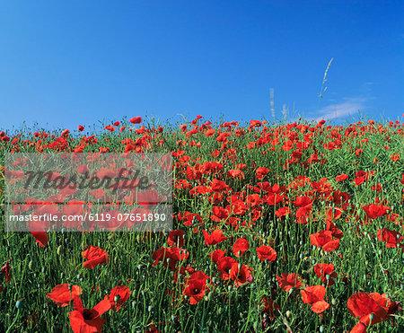 Field of poppies, Neresheim, Swabian Alb, Baden Wurttemberg, Germany, Europe