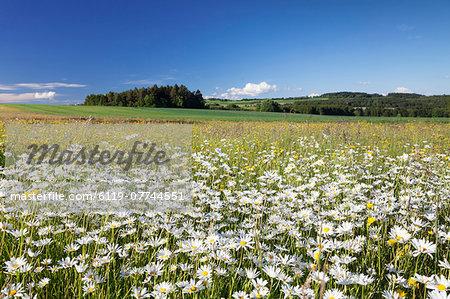 Flower meadow with marguerites (Leucanthemum vulgare), Baden Wurttemberg, Germany, Europe