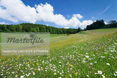 Spring meadow with marguerite flowers (Leucanthemum vulgare), Swabian Alb, Baden Wurttemberg, Germany, Europe