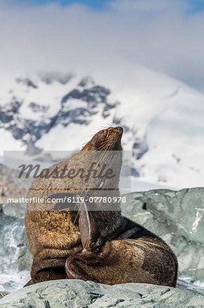 Adult Antarctic fur seal (Arctocephalus gazella), Danco Island, Antarctica, Southern Ocean, Polar Regions