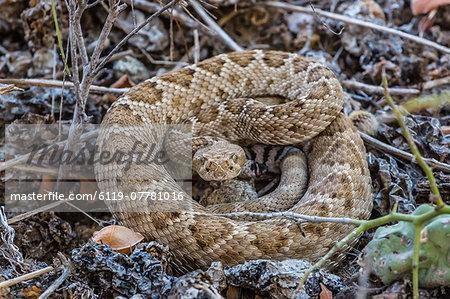 Adult Isla Catalina rattleless rattlesnake (Crotalus catalinensis) in its brown color variation, Isla Santa Catalina, Baja California Sur, Mexico, North America