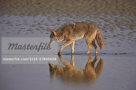 Coyote (Canis latrans), Antelope Island State Park, Utah, United States of America, North America