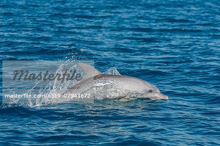 Indo-Pacific bottlenose dolphin (Tursiops aduncus), in Yampi Bay, Kimberley, Western Australia, Australia, Pacific