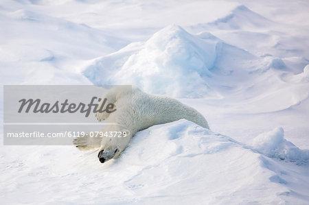 Adult polar bear (Ursus maritimus) stretching on first year sea ice in Olga Strait, near Edgeoya, Svalbard, Arctic, Norway, Scandinavia, Europe