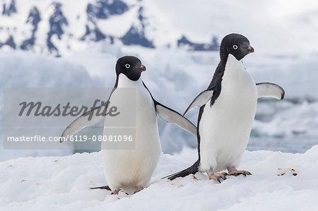 Adelie penguin (Pygoscelis adeliae) pair, at Brown Bluff, Antarctica, Southern Ocean, Polar Regions