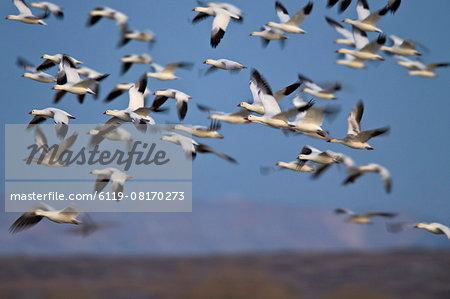 Snow goose (Chen caerulescens) flock in flight, Bosque del Apache National Wildlife Refuge, New Mexico, United States of America, North America