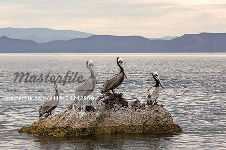 Adult brown pelicans (Pelecanus occidentalis), Isla Ildefonso, Baja California Sur, Mexico, North America
