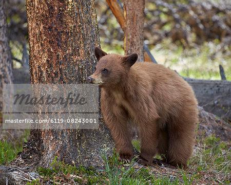 Cinnamon black bear (Ursus americanus) yearling cub, Yellowstone National Park, Wyoming, United States of America, North America