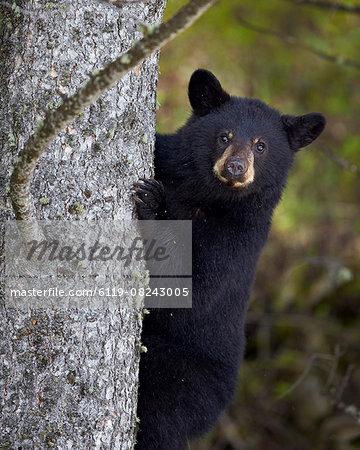 Black bear (Ursus americanus) yearling cub climbing a tree, Yellowstone National Park, Wyoming, United States of America, North America