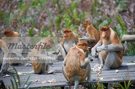 Proboscis monkeys, Labuk Bay Proboscis Monkey Sanctuary, Sabah, Borneo, Malaysia, Southeast Asia, Asia