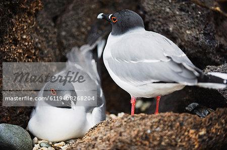 Swallow tailed gull (creagrus furcatus), Isla Genovesa, Galapagos Islands, UNESCO World Heritage Site, Ecuador, South America