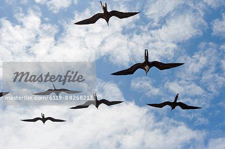 Great frigate bird (Frigata minor) flying in formation, Galapagos Islands, UNESCO World Heritage Site, Ecuador, South America