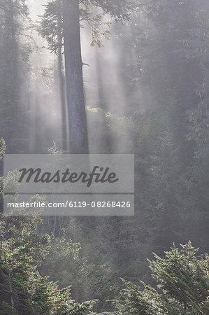 Rainforest, Pacific Rim National Park, Vancouver Island, British Columbia, Canada, North America