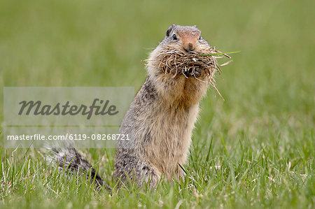 Columbian ground squirrel (Citellus columbianus) with nesting material, Manning Provincial Park, British Columbia, Canada