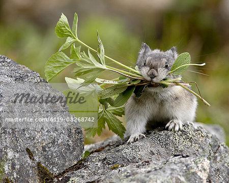 Collared Pika (Ochotona collaris) taking food to a cache, Hatcher Pass, Alaska, United States of America, North America