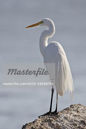 Great egret (Ardea alba) in breeding plumage, Sonny Bono Salton Sea National Wildlife Refuge, California, United States of America, North America