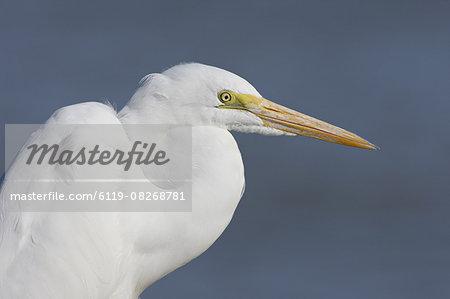 Great egret (Ardea alba), Salton Sea, California, United States of America, North America