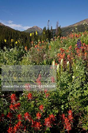Giant red paintbrush (Indian Paintbrush) (Castilleja miniata) and yellow paintbrush (sulfur paintbrush) (Castilleja sulphurea), Maroon Bells-Snowmass Wilderness, White River National Forest, Colorado, United States of America, North America