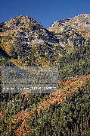 Orange maples among evergreens, Uinta National Forest, Utah, United States of America, North America